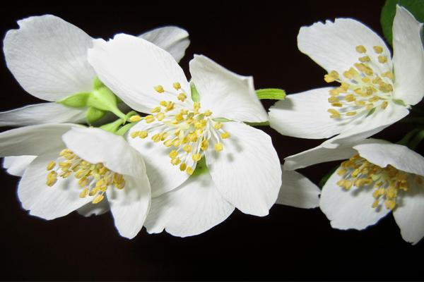 Jaismine Flower